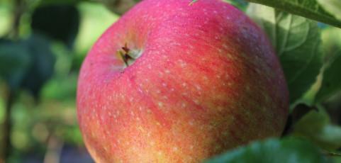 """Æble """"Aroma"""""""