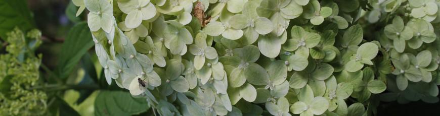 Hydrangea Limelight