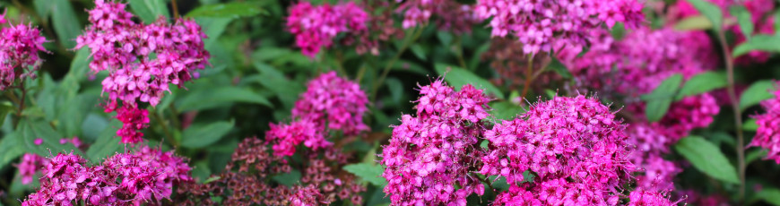Spirea Anthony Waterer