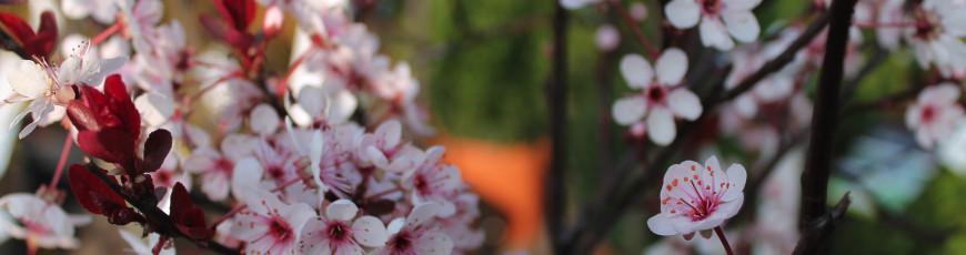 Prunus nigra i blomst